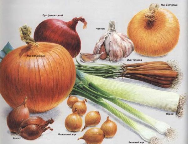 Семейство луковых: и приправа, и еда